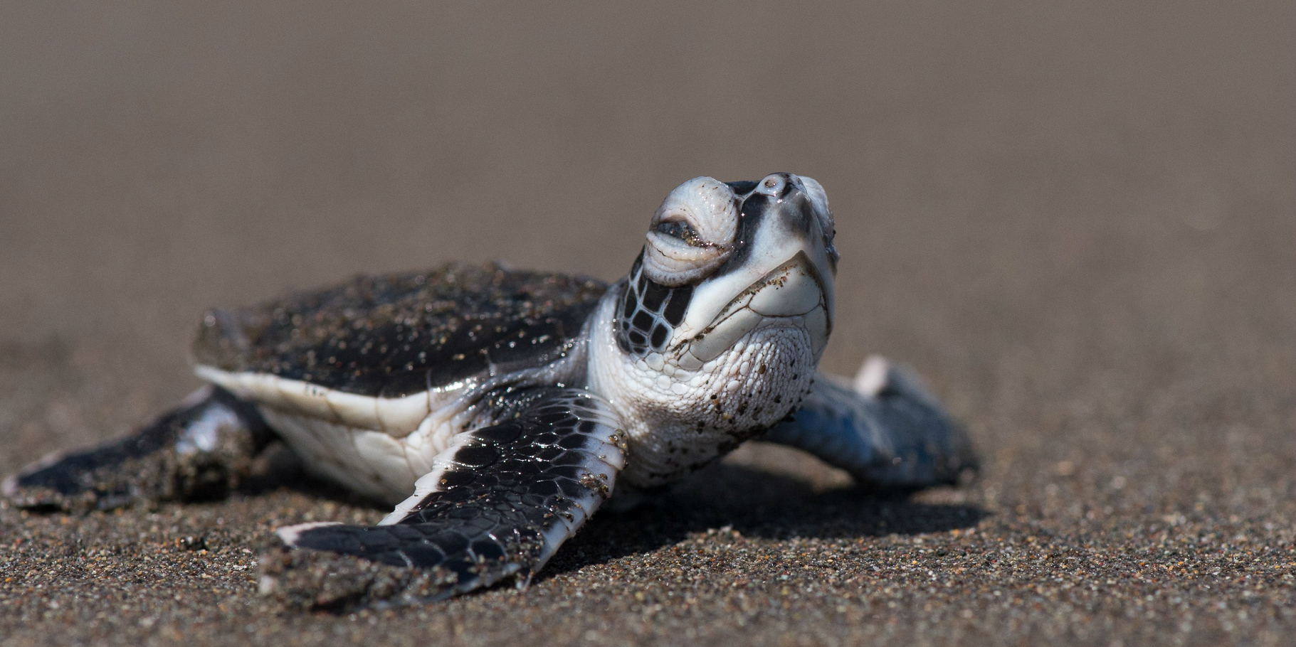 green turtle facts