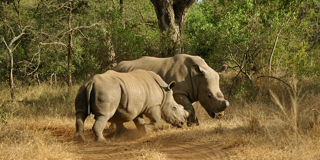Support rhino conservation with the International Rhino Foundation.