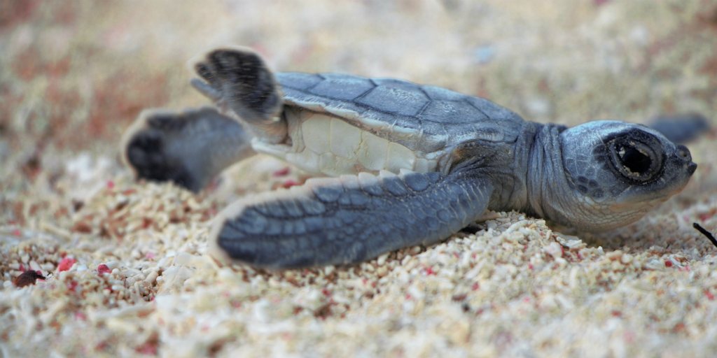 Volunteering in Africa with animals is one way to get up close with and witness turtle hatchlings in Seychelles