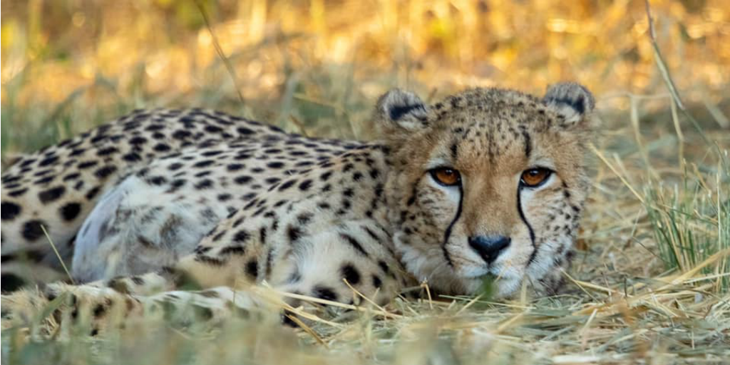 A cheetah lying in the tall dry grass of the savannah.