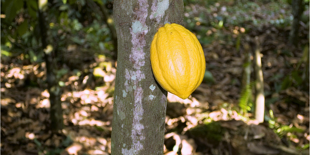 Cocoa crops played a big role in Ghana's economy