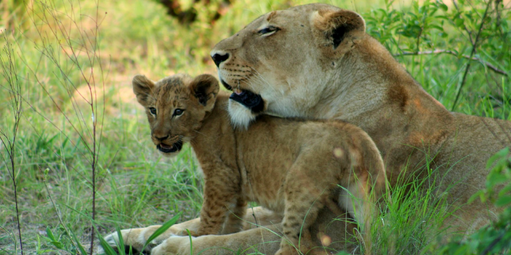 A mother and her cub are bonding in the grasslands.