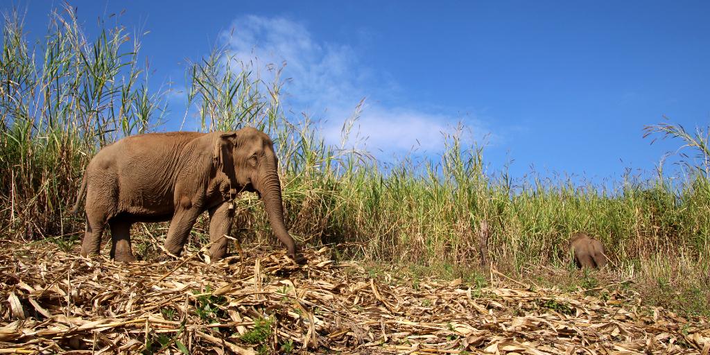 The elephant walks through the grass.