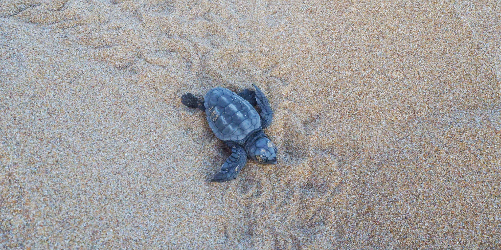 A hatchling making its way back to sea.