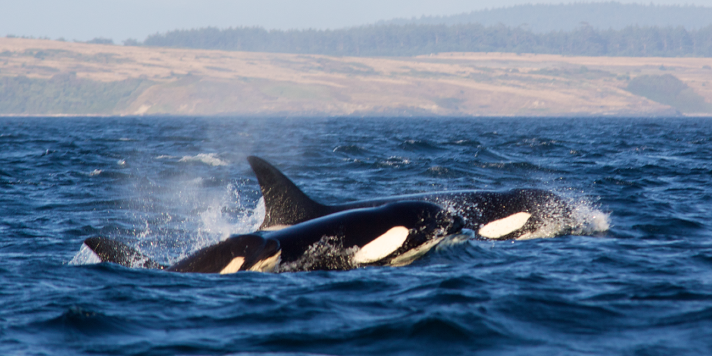 A group of whales are called pods.