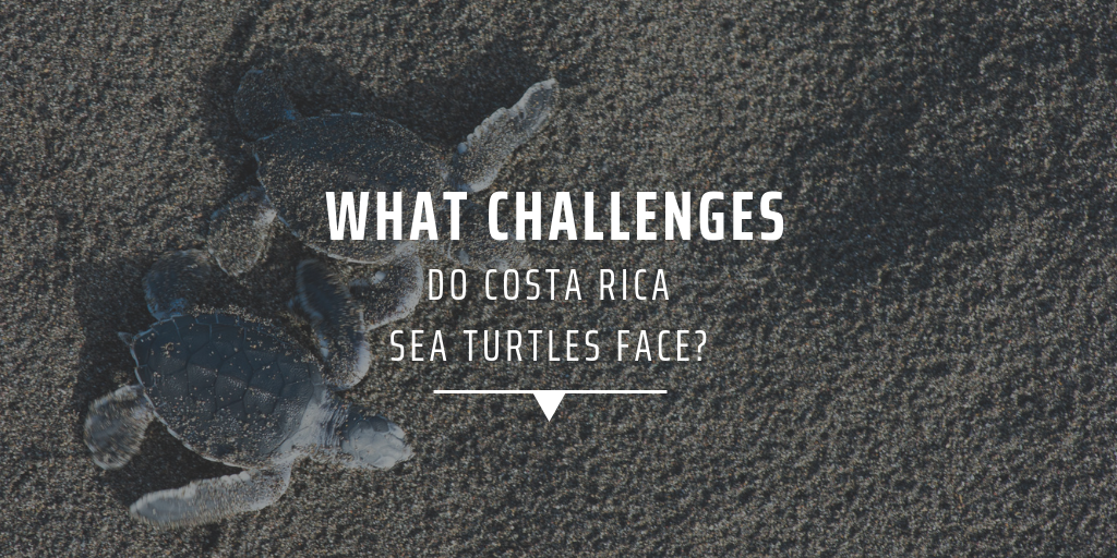 What challenges do Costa Rica sea turtles face
